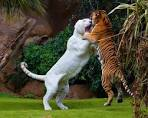 Liger vs tiger, fight! [Amazing Photo of the Day] | Reviews, news ...