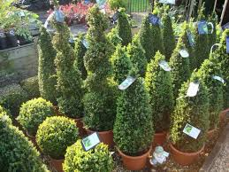 home decoration inspirative spiral topiary trees for attractive