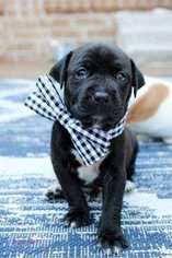 american pitbull terrier for sale in dallas texas view ad american pit bull terrier dog for adoption texas dallas