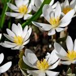 File:Bloodroot (<b>Sanguinaria</b>
