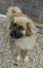belgian shepherd nc view ad australian shepherd mix dog for adoption north carolina