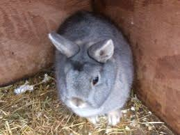 Netherland Dwarf Rabbits for sale in Birmingham   Pets Homes Pets Homes Opal netherland dwarf doe
