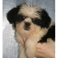 bluetick coonhound oregon spooner u0027s lhasa babies lhasa apso breeder in grants pass oregon