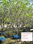 ต้นลีลาวดี ขาวพวง ประจำเดือน สิงหาคม 54 หมายเลข 2 ร้านต้นไม้น้องเบ ...