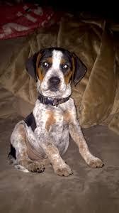 training a bluetick coonhound to hunt training a dog on rabbits michigan sportsman online michigan