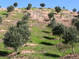 تصویر  دانلود مقاله احداث باغ در اراضي شيبدار