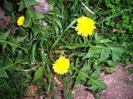 arbuste , plantes de nos jardin commestible .edible bush , smalltrees , plants Images?q=tbn:ANd9GcSKiO5Mt-x2ZXc1atUj6emzDikcjSmPeYTv-Yoq5ddM8zqeut4&t=1&usg=__yPm03JehwQDK2laPg32vwLKBM7Q=