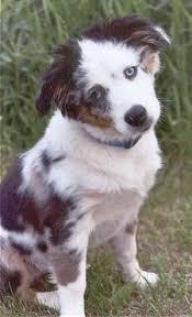 6 month old mini australian shepherd miniature australian shepherd dog breed information and pictures