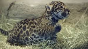 Jaguar cub roars as it makes debut at San Diego Zoo   Daily Mail     On show  To date the cub has been spending most of its time in an