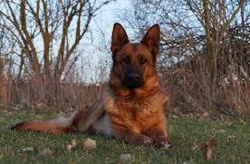 american pitbull terrier for sale in dallas texas von fenwald u0027s elite german shepherds home