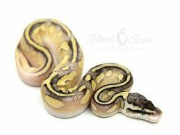 cinnamon enchi mojave pastel morph list world of ball pythons