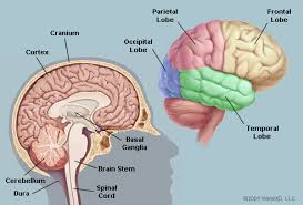 Sheep Brain Anatomy Game Human Anatomy Median Section Of The Brain Human Brain Anatomy