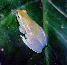 Sphaenorhynchus lacteus