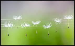 dandelion seeds on music staff