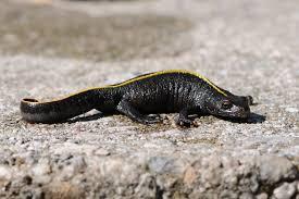 Italian crested newt