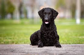 belgian sheepdog crossword clue curly coated retriever dog breed information pictures