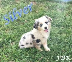 australian shepherd diseases view ad miniature australian shepherd puppy for sale texas