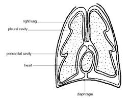 Anatomy And Physiology Of Lungs Anatomy And Physiology Of Animals Body Organisation Wikibooks
