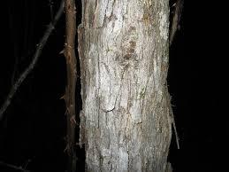 White Oak Bark Bark