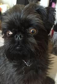 buy a affenpinscher 46 best brussels griffon images on pinterest brussels animals