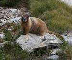 Image result for Marmota flaviventris