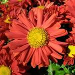File:Red <b>chrysanthemum</b>.jpg
