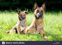 belgian sheepdog chow mix shepherd mix lying stock photos u0026 shepherd mix lying stock images