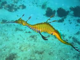 imagem do mês : dragão marinho