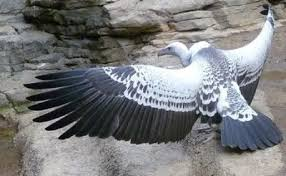 Ruppell's Griffon Vulture.