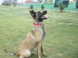belgian shepherd nc search u0026 detection training greensboro nc dogs by andy k 9