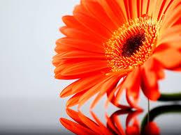 வால்பேப்பர்கள் ( flowers wallpapers ) - Page 4 Images?q=tbn:ANd9GcSTui6eCwtTXzG5pAtt3l98XaOcXBw7akY4jSmR5B6ERmKXKqOKNQ