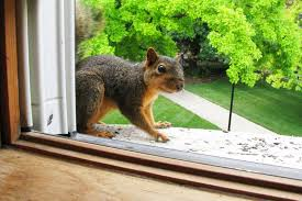 How Do You Get Rid Of Possums In The Backyard by How To Get Rid Of Squirrels Squirrel Removal Tips Houselogic