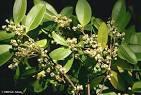MBG Images of <b>Oleaceae</b> in