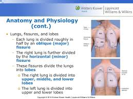 Anatomy And Physiology Of Lungs Ppt08