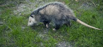 How Do You Get Rid Of Possums In The Backyard by How To Get Rid Of Opossums Terminix
