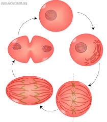 This a picture of the stages of mitosis.