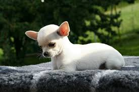 buy a affenpinscher 15 toy dog breeds that will make you want a little dog cutest