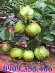 HCM - Cung cấp Ổi Nữ Hoàng <b>Thái</b> (cây giống và cây trồng chậu <b>có</b> trái)