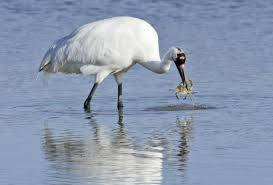 supreme court could hear whooping crane case san antonio express