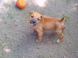american pitbull terrier for sale in dallas texas american pit bull terrier puppies in texas