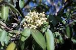 Image result for Arbutus xalapensis