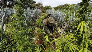 Study: U.S. marijuana