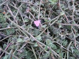 Callisia navicularis
