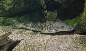 Tiger shovelnose catfish