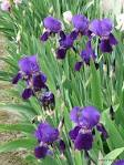 Purple Bearded <b>Iris Plant</b>