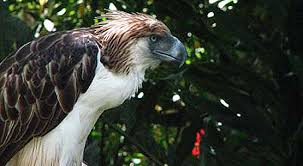 images?q=tbn:ANd9GcSaaDg-w2oJ0RY7eC6GuCyPQEmMfE4XTeLNTL3IX0aIc0zqzWE8 - The Philippine Eagle - Philippine Photo Gallery