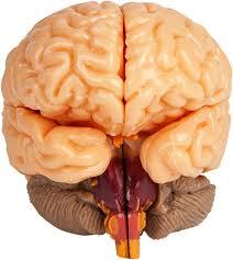 Sheep Brain Anatomy Game The Amazing Squishy Brain Smartlab Amazon Co Uk Toys U0026 Games