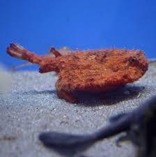 Ogcocephalidae