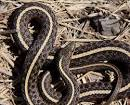 Image result for Thamnophis ordinoides