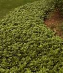 Win the <b>Pachysandra</b> War